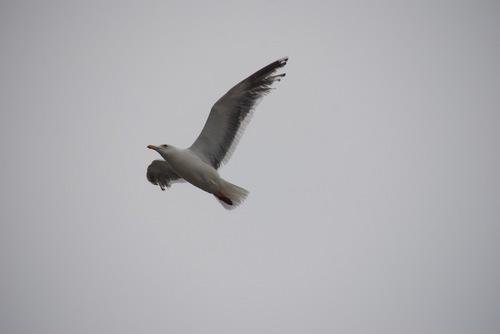 セグロカモメ 飛翔.jpg