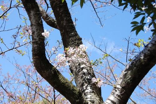塩釜みなと公園の桜.jpg