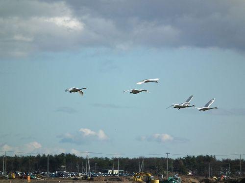 大沼の白鳥さん1.jpg