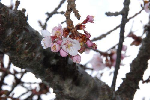 寒桜の種類でしょうか.jpg