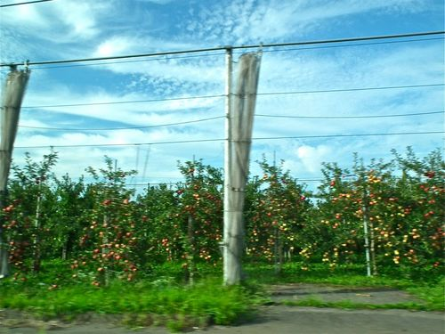 林檎畑.jpg