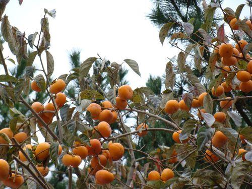 柿の実.jpg