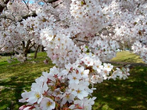 桜満開 いつもの公園.jpg