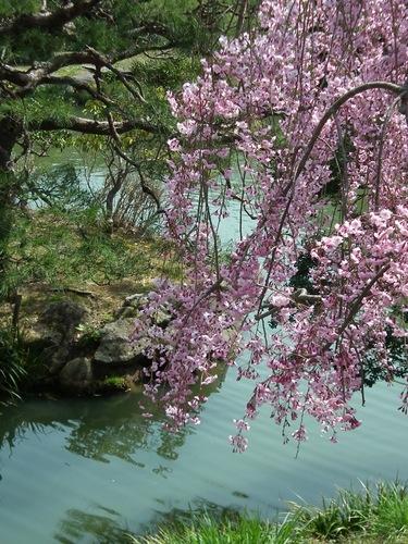 紅枝垂桜.jpg