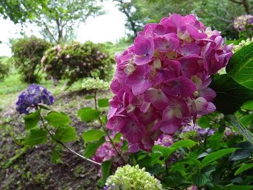 紫陽花c.jpg