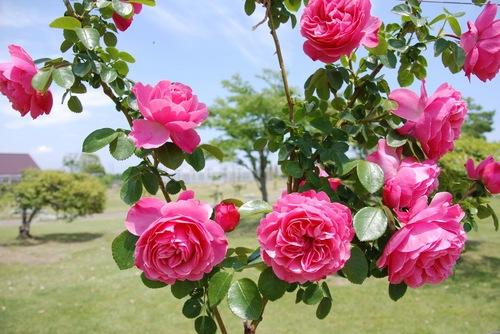 薔薇 up用.jpg
