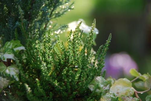 寄せ植えと花菖蒲.jpg
