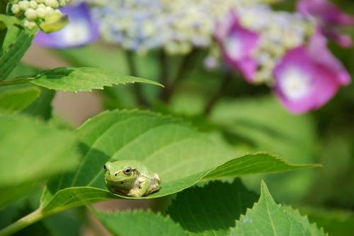 山神社の蛙と紫陽花.jpg