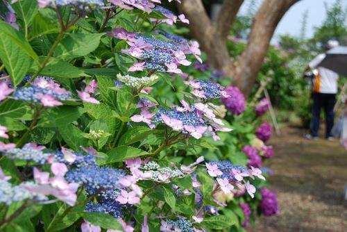 紫陽花13.jpg