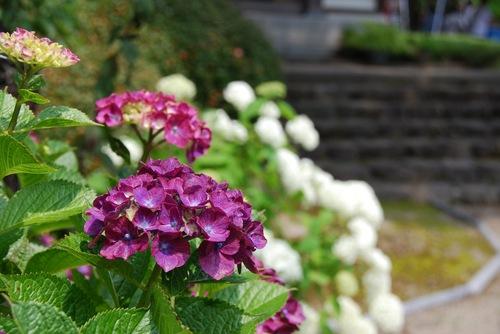 紫陽花20.jpg