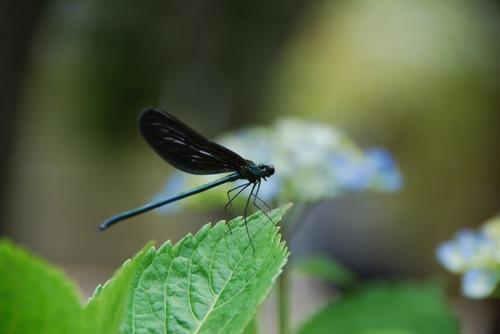 羽黒蜻蛉2.jpg