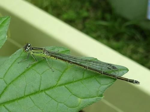 金属蜻蛉.jpg