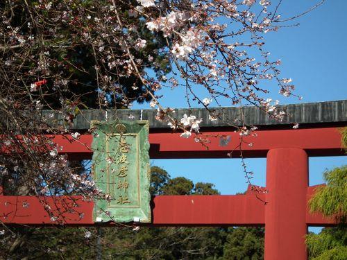 鳥居と四季桜.jpg