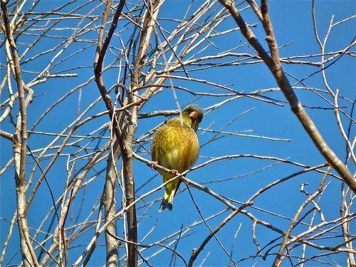 黄色い鳥.jpg