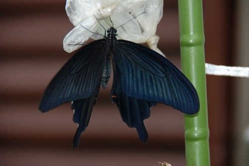 黒揚羽 翅を広げて.jpg